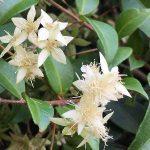 Bush tucker plant cinnamon myrtle