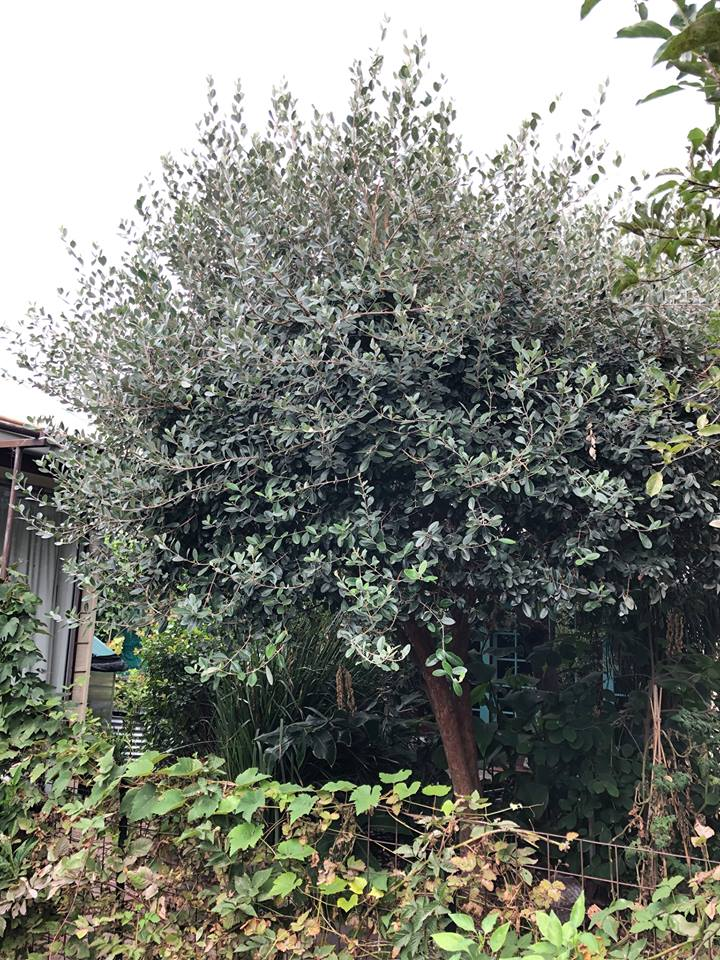 Feijoa shrubs can over time almost grow to be a small tree