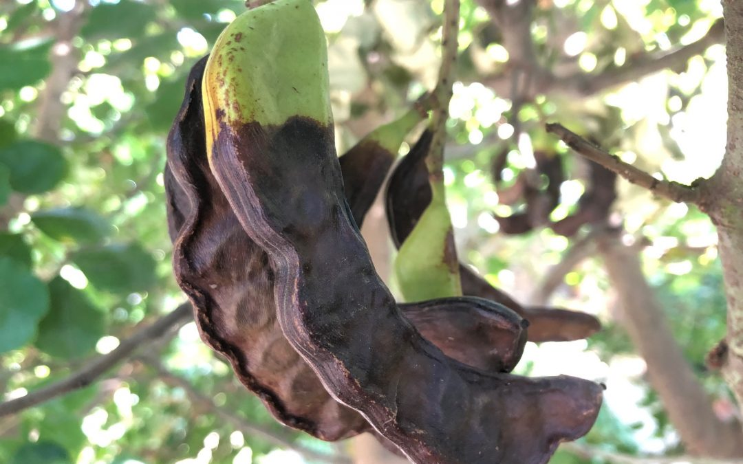 Carob Harvest at Gunyah