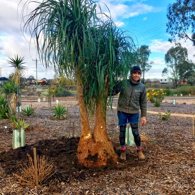 Ponytail Palm at Melton Botanical Gardens