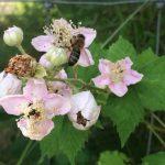 Karen's rooftop bees visit a berry flower at Edible Eden Design Gunyah garden