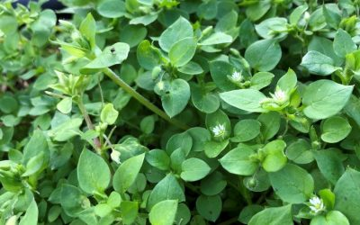Amazing Chickweed
