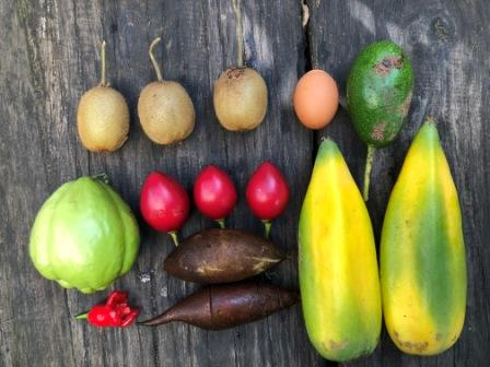 Perennial winter harvest choko kiwi fruit tamarillo yacon avacado chili
