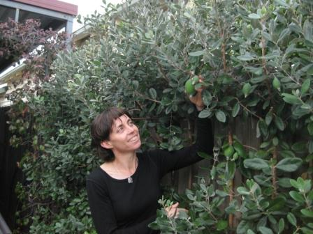 Mature feijoa hedge, Karen picking ripe fruit from the fedge