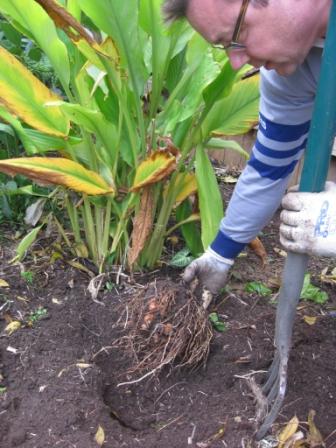 Rogi's turmeric crop