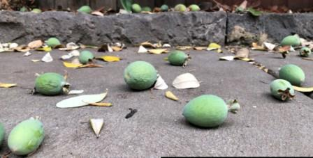 Feijoas fall to the ground when they are ripe