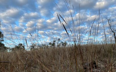 Red, black, blue and kangaroo – Goulburn Valley grasses for paddock and garden