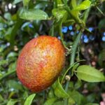 Red centre finger lime fruit variety developed by the CSIRO